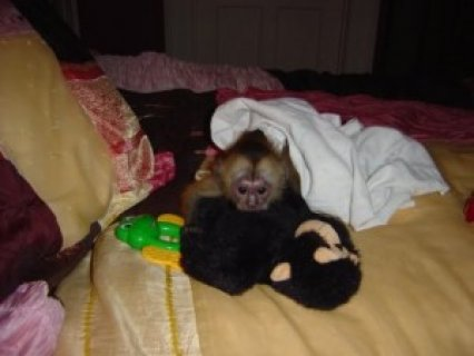 Female Capuchin Monkey