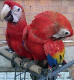 Healthy and well tamed Macaw parrots for new homes