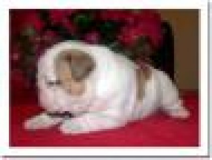 Adorable 11 weeks old, purebred English Bulldog