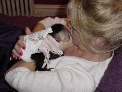 Female Capuchin Monkey for Adoption