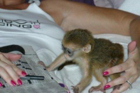 Capuchin Monkeys Availabl
