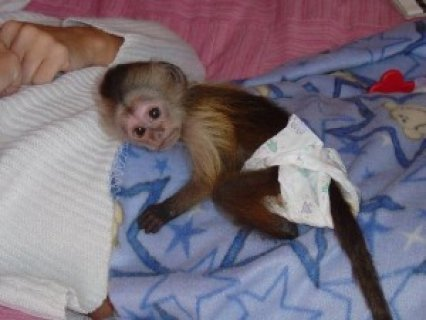 Cute USDA Capuchin Monkey