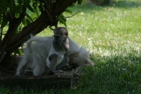 Intelligent Capuchin Monkey for Sale