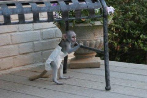 Interlligent Capuchin Monkeys for Home Companion