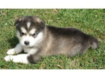 Outstanding Alaskan Malamute Puppies for Adoption