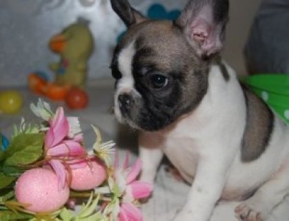 3 Outstanding French Bulldogs