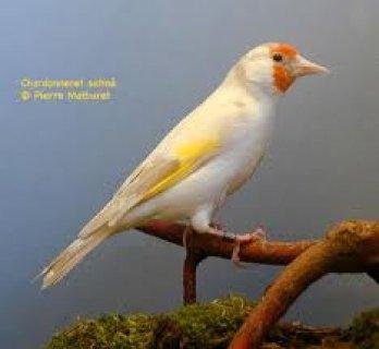 موقع اروع طيور الحسون