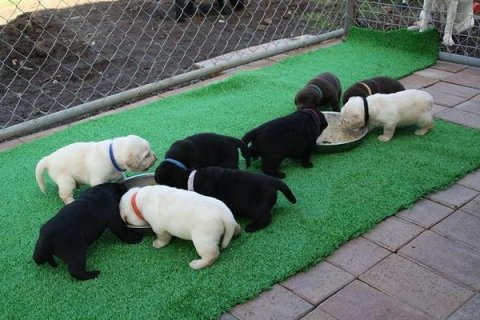 SWEET LABRADOR PUPPIES