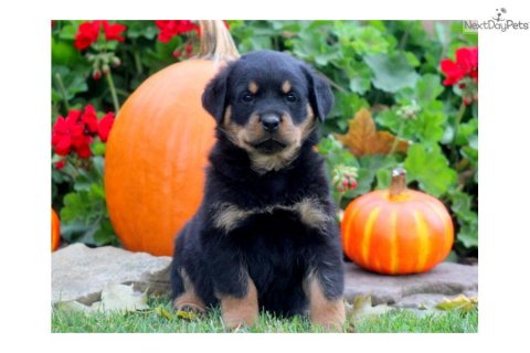 If you are looking for Rottweiler puppies for sale from reputabl