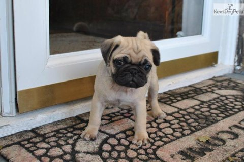 If you are looking for Pug puppies for sale from reputable Pug b