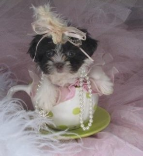 { wilbergoodman1@gmail.com }Adorable Shih Tzu puppies ready