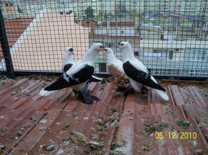 pigeon algèria