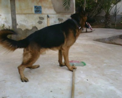 صور  male berger allemand  1