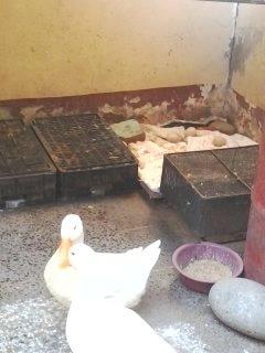 بيع زوج بط بكيني اول عام في البيض لهما لون ابيض