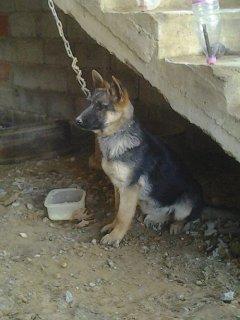 كلبة بارجي الماني بونشي بوليسي العمر 3 اشهر بكل التطعيمات للبيع