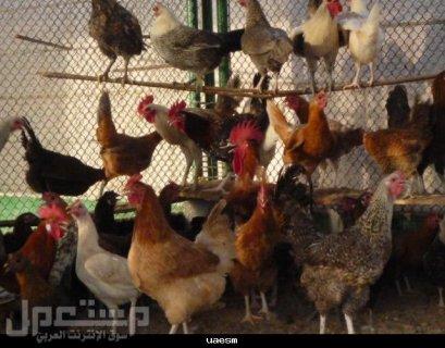 بيع الدجاج البلدي والبط