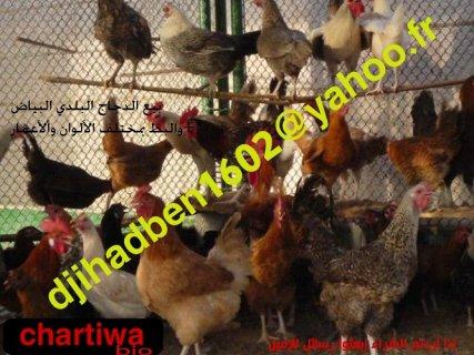 بيع الدجاج البلدي البياض والبط