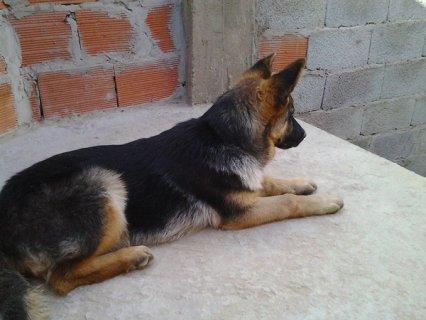 كلبة بارجي المو بونشي  بوليسي العمر 4 اشهر