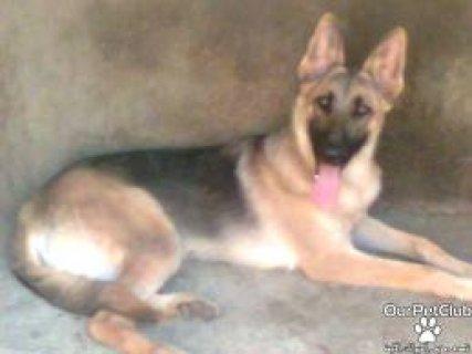 كلب راعي ألماني 4 أشهر