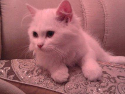 قط شيرازي ابيض اللون للبيع