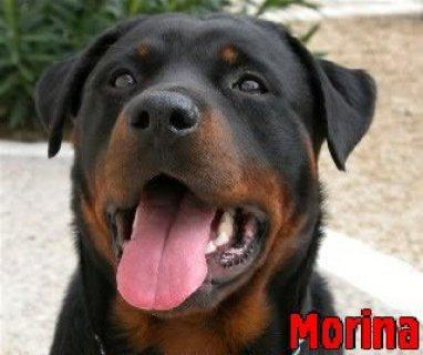 بيع كلب من فصيلة الروت وايللر
