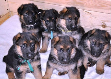 Healthy AKC Registered German shepherd puppies for adoption
