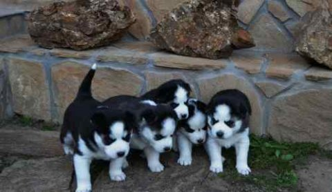 صور Siberain Husky Puppies for Adoption 1