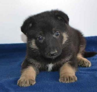 German Shepherd puppies for adoption