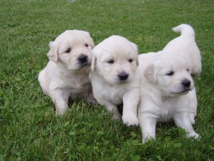 صور  Purebred Golden Retrievers puppies for sale males and females 2