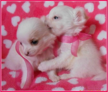 White Tea chihuahua puppies Male and Female for sale