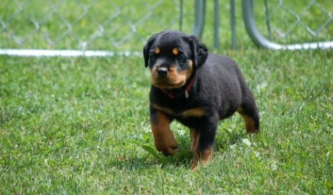 Gorgeous, healthy German Rottweiler puppies