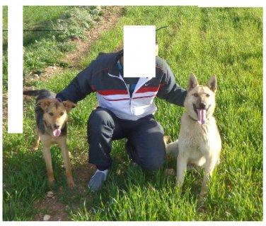 كلب بارجي بلو للبيع