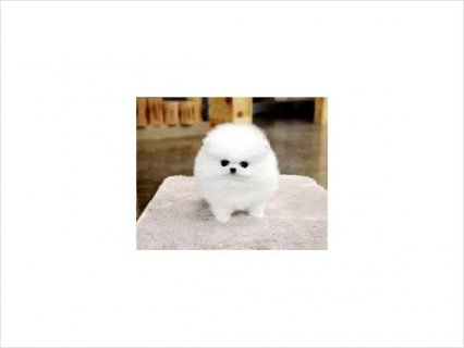 صور Gorgeous Teacup Pomeranian Puppies, Male & Female 1