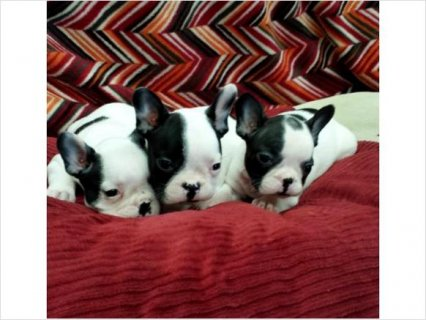 Beautiful French bulldog puppies for sale!!!