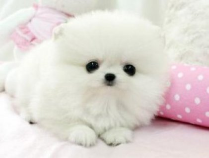 Gorgeous Pomeranian Puppies For Good Homes