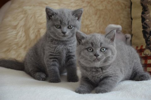 صور Blue eye BS kittens for rehoming 1