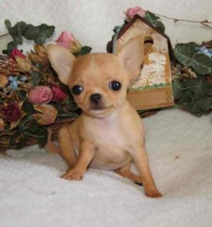 lovely chihuahua puppies for adoption