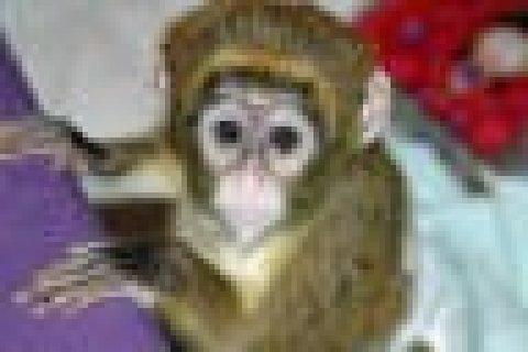 charming face capuchin monkey