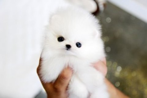 Pomeranian for Sale<>