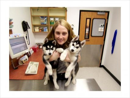 Male and Female Siberian Husky mixed Puppies Availabe For Gifts