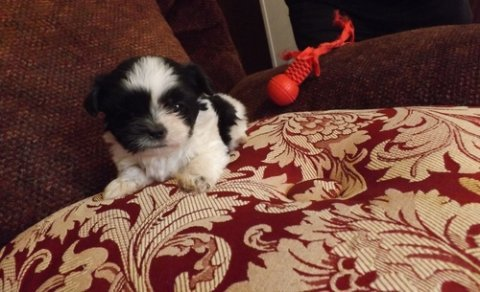 صور Male And Female Shih Tzu puppies foe sale  1