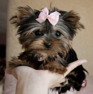 صور Wow Wow Teacup Yorkie Puppies for Sale 1