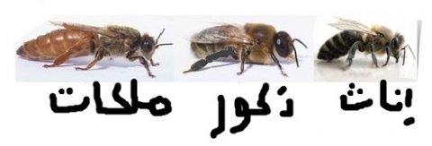 خلايا النحل و ملكات و عاملات و ذكور للبيع