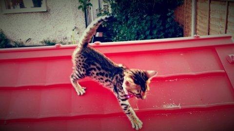 *****noble bengal kitten*****