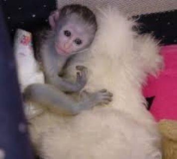 Gorgeous Capuchin Monkey for Sale