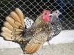 انواع الدجاج النادر و الغالي و دجاج الزينة كله في مزرعتنا