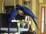 Tamed Hyacinth macaw parrotse