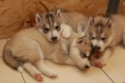 Nice Siberian Husky Puppies For adoption
