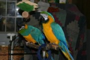 Two Blue and Gold Macaws for adoption