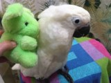 Very Friendly Cockatoo Parrots for Sale